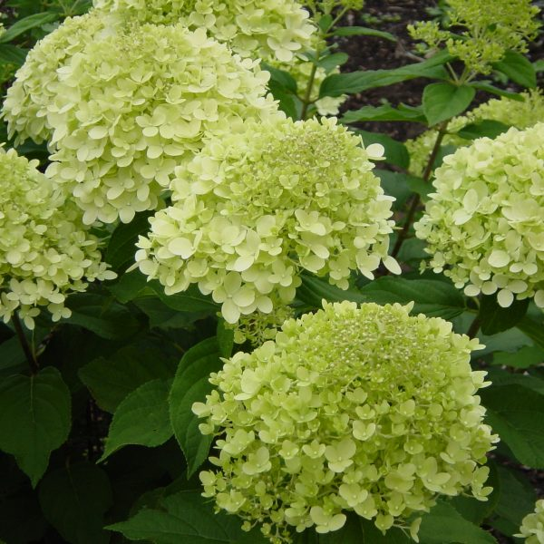 hydrangea paniculata limelight mill cottage plants. Black Bedroom Furniture Sets. Home Design Ideas